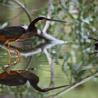 Pocone_MT, Brazil.  Pantanal  Photo: JOAO MARCOS ROSA / NITRO