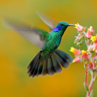 Hummingbird,Green,Violet-ear,,Colibri,Thalassinus,,Fling,Next,To,Beautiful,Ping