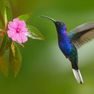Hummingbird,Violet,Sabrewing,Flying,Next,To,Beautiful,Pink,Flower,In