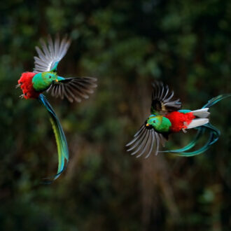 Quetzal,,Pharomachrus,Mocinno,,From,Tropic,In,Costa,Rica,With,Green