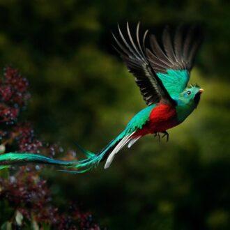 Flying,Resplendent,Quetzal,,Pharomachrus,Mocinno,,Savegre,In,Costa,Rica,,With